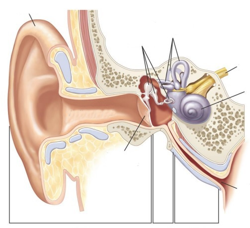 Label Parts of the Human Auditory System